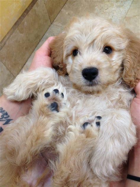 mini goldendoodle mini goldendoodle misc