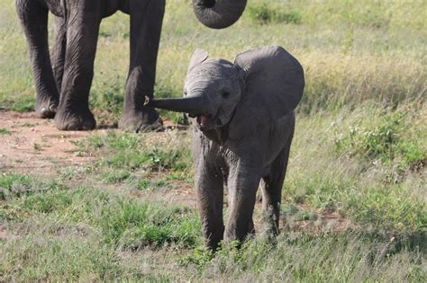 donald trump caign promises conservation of elephants in africa best elephant 2017
