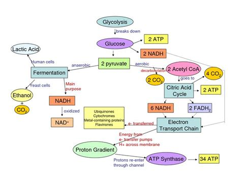 steps of photosynthesis flowchart 65 best cellular respiration images on cell