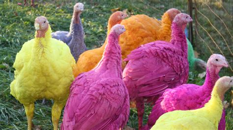 turkey color colored turkeys at gozzi s turkey farm brighten the