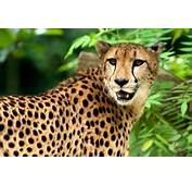Interesting Cheetah Facts And Information