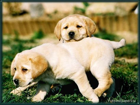 pictures of lab dogs dogs images labrador puppies hd wallpaper and background photos 1082711