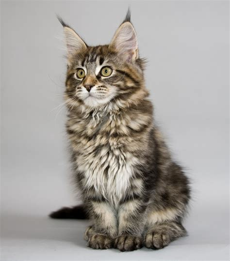 Kitten Mainecoon maine coon cats cats