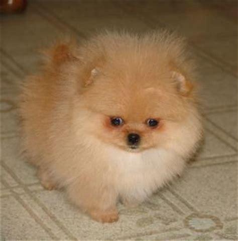 how much do pomeranian puppies usually cost pomelene pomeranian puppies