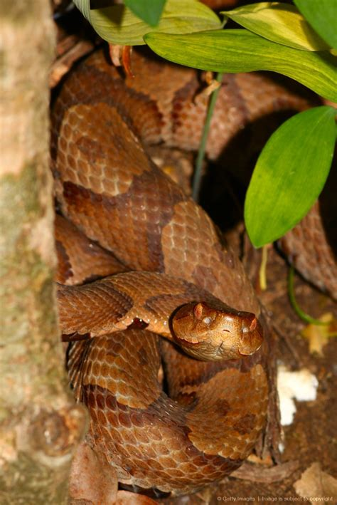 27 best reptiles and hibians images on pinterest 43 best images about venomous snakes north america on
