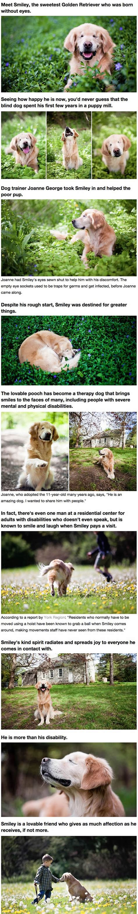 golden retriever stories golden retriever born without brings to humans with disabilities barnorama
