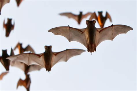 a m bats make sound to find their way but don t talk