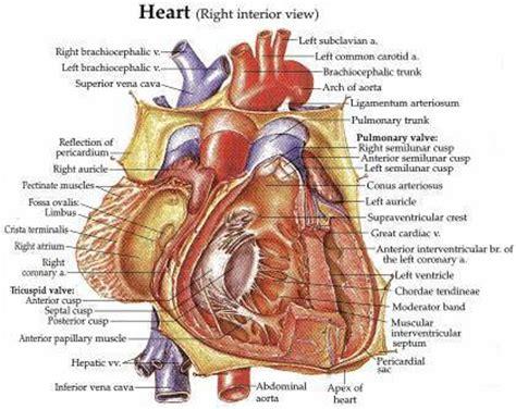 human valves diagram image gallery anatomy model