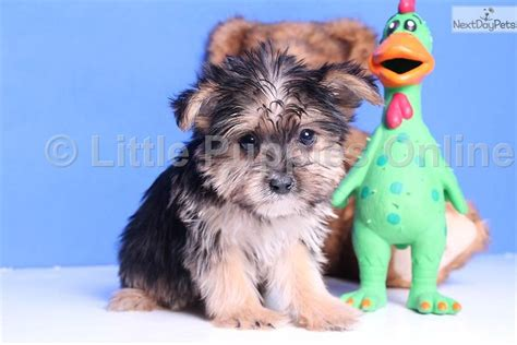 yorkie coton meet ozzy a yorkiepoo yorkie poo puppy for sale for 399 ozzy yorkie coton