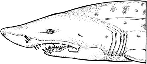 shark teeth coloring page pin shark teeth colouring pages on pinterest