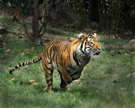 the tiger who would supporting panthera s tigers forever program cincinnati zoo blog