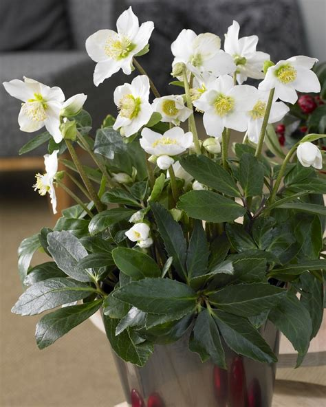 Indoor House Plant helleborus niger white christmas roses pack of three