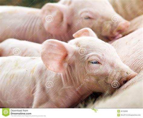 alimentazione maiale alimentazione appena nata dei maiali immagini stock libere