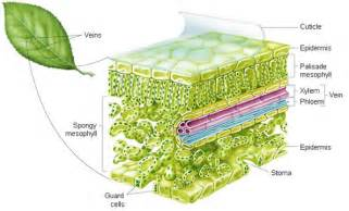 plant cross section search plantz