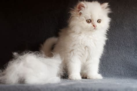 Why Do Cats Shed So Much Hair by Shedding Season So Much Fur Elmhurst Animal Care