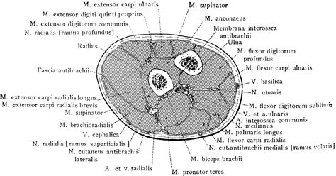 arm cross section cross section through forearm two inches below elbow
