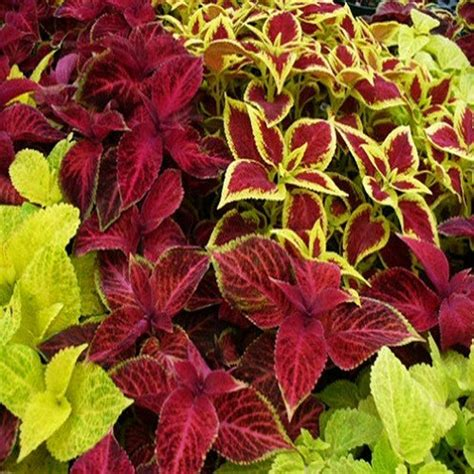 coleus rainbow mix flower seeds solenostemon scutellarioides