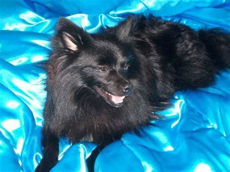 pomeranian st louis pomeranian for sale for sale adoption from hillsboro missouri st louis adpost