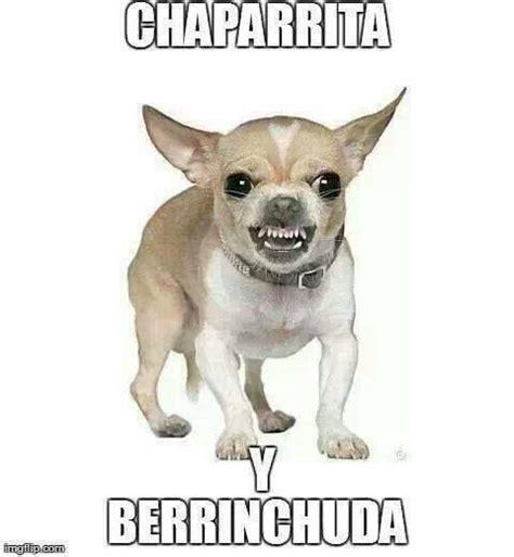 Memes De Chihuahua - memes de perro chihuahua buscar con google frases