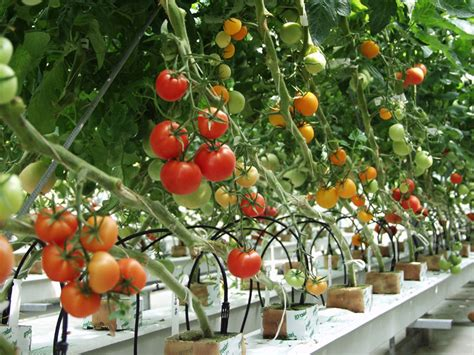 Tomato Cultivation practices