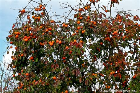 persimmon fruit tree persimmons anyone auckland west