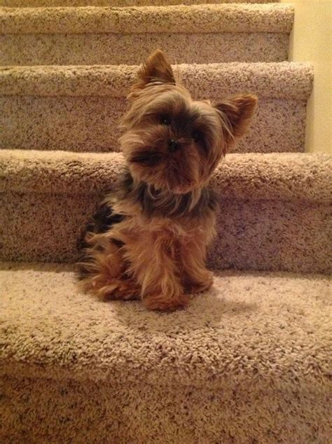 i want a yorkie puppy 25 best ideas about terriers on terrier puppies