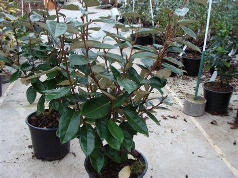 Arbuste De Haie 1207 by Eleagnus Ebbingei Lot De 15 Plants Chalef Arbuste