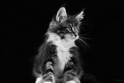black and white wallpaper next 2736 x 1824 maine coon black and white free images for