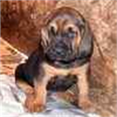 bloodhound puppies for sale in ohio bloodhound puppies for sale bloodhound breeders