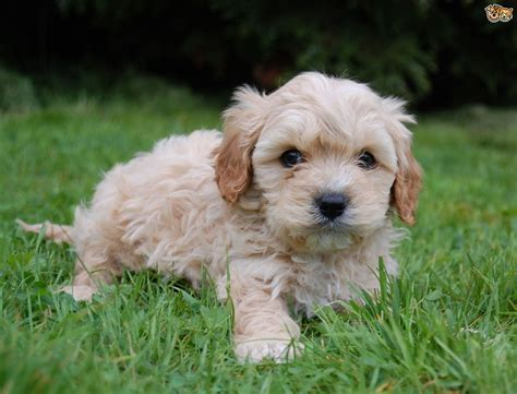 cavapoo puppies cavapoo breed information buying advice photos and facts pets4homes