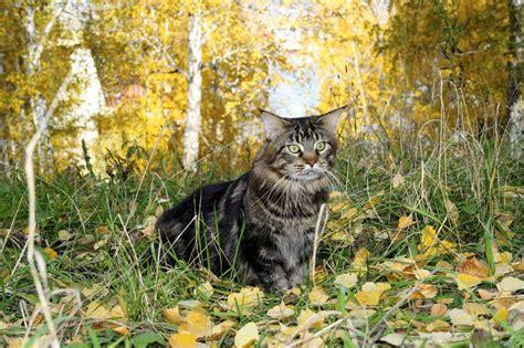 alimentazione maine coon gatti maine coon storia e origine della razza il gatto