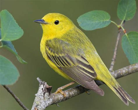 yellow warbler audubon field guide