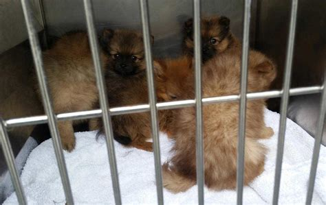 pomeranian breeders ireland pomeranian puppies found caged in at dublin port the news
