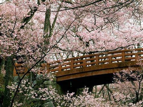 fiori ciliegio significato fiore di ciliegio significato fiori