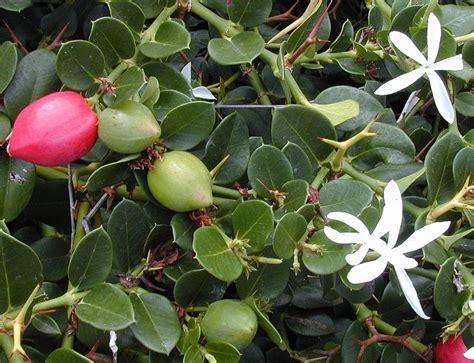 1 Biji Benih Bonsai Buah Plum bibit natal plum