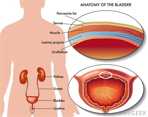 bladder diagram what causes lymphocytes in urine with pictures