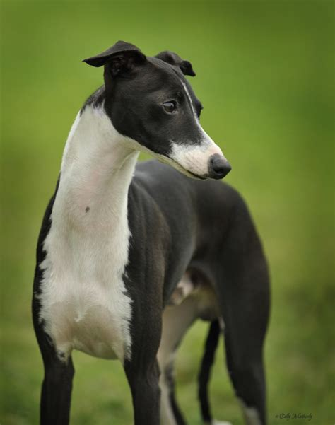 voici italian greyhounds home