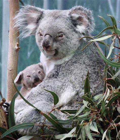 female koala pouch lactating female koalas consume more food as compared to