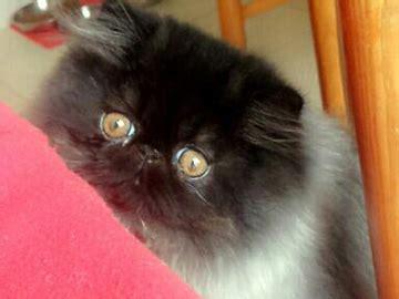 allevamenti gatti persiani gattipersiani it gatti persiani