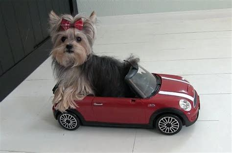 world s smartest yorkie world s smartest yorkie puppy daily picks and flicks