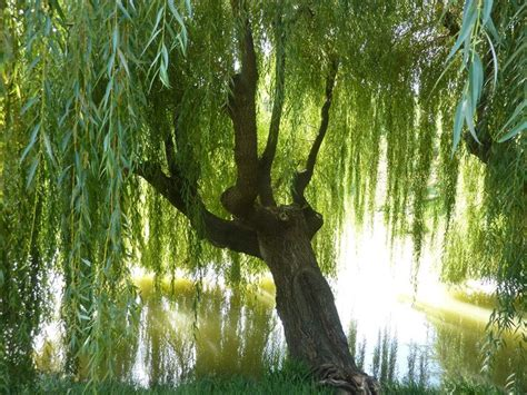 tree water aspirin 22 best images about weeping willow sleeve on toronto psychedelic and bird of paradise