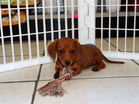 dachshund puppies for sale craigslist miniature dachshund puppies dogs for sale in gulfport mississippi ms 19breeders