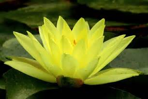 Yellow Lotus Flower Picture Lotus Flower 8