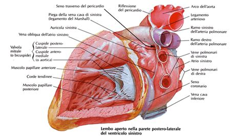 vasi renali circolazione insufficiente ingrossamento di cuore e milza