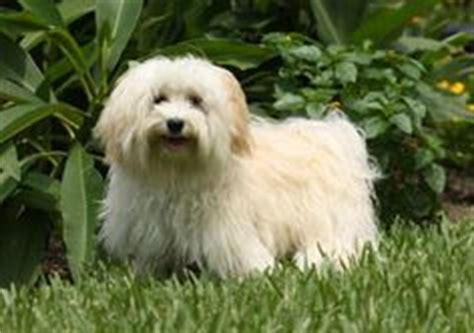 expectancy of a havanese 1000 images about favorite breeds on dogs norfolk terrier and
