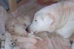 akbash dog with newborn puppies punjabigraphics com