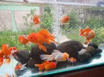 akuarium ikan mas koki design 7 tips cara merawat ikan mas koki agar sehat ikan hias