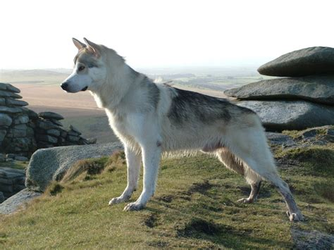 northern inuit puppies northern inuit breed guide learn about the northern inuit