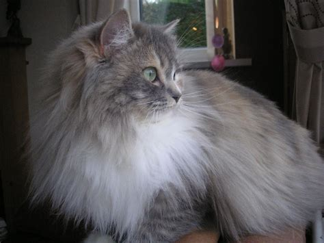 Ragamuffin Cat Info, Personality, Kittens, Pictures