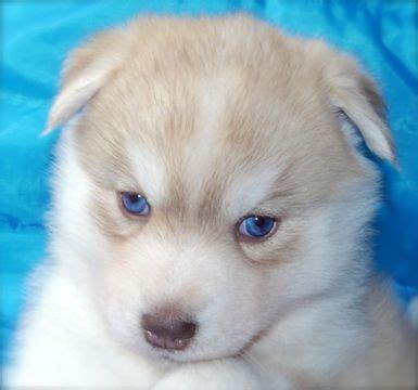 husky puppies tulsa best 25 siberian husky for sale ideas on huskies for sale pomsky for